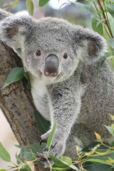 残暑の埼玉こども動物自然公園(後編)今のうちにたくさん会いたいコアラのピリーくん&アニマルステージミニや新エコハウチューの小動物たち