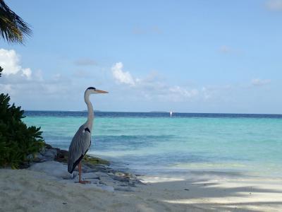 6年振りのモルディブはヴィラメンドゥ 9(けっこう絵になる鳥とか・・・)