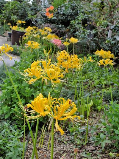 彼岸花が少し遅れて咲き始めた花の寺「円照寺」