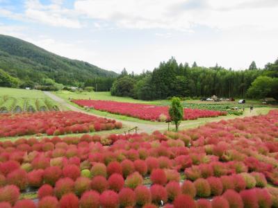 伊賀野の花畑☆コキア☆