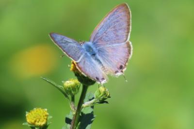 森のさんぽ道で見られた蝶(59)コセンダングサの花に止まる蝶その②