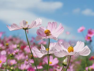 ピンク色に染まる花の丘@昭和記念公園コスモスまつり2019 2nd Stage