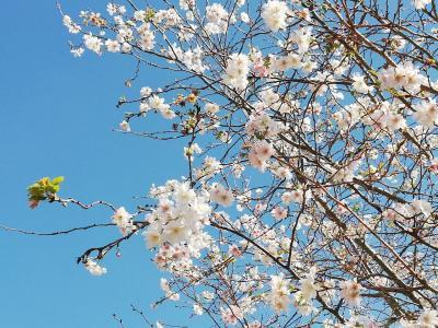 見頃になった桜