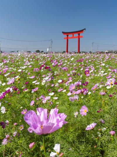「小泉町」のコスモス_2019_咲き始めました。2割くらい咲いています。(群馬県・伊勢崎市)