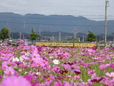 5分咲きのコスモスを台風が来る前に見て来ました。三岐鉄道の電車も撮れました(´▽`*)