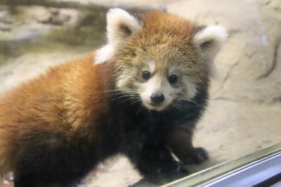 10月の多摩動物公園の赤ちゃん詣~レッサーパンダの双子とコアラのニーナちゃんの赤ちゃんとターキンのハマくんとアムールトラのショーヘイくん他