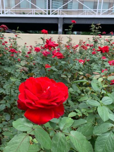 ~ Red Rose Garden ~♪に癒されて~