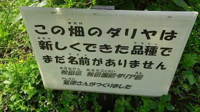 黒川ダリヤ園(川西市)に咲く、未だ名前が付いていないダリヤの花。