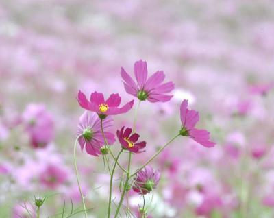 秋を彩るコスモス畑を歩いて花と遊びました。