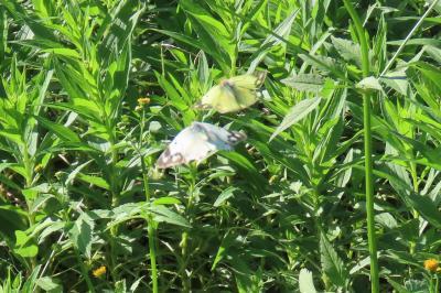 森のさんぽ道で見られた蝶(60)コセンダングサの花に止まる蝶その③