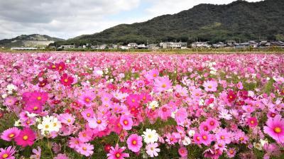 2019年10月、兵庫・加古川志方町コスモス畑~花の寺・円照寺へ!