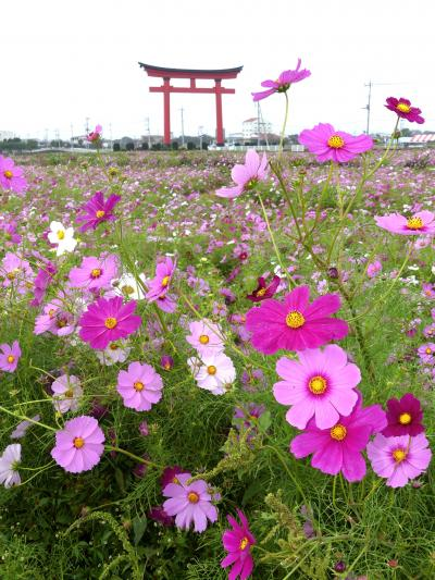「小泉町」のコスモス_2019(2)_台風で倒れたが満開です。(群馬県・伊勢崎市)