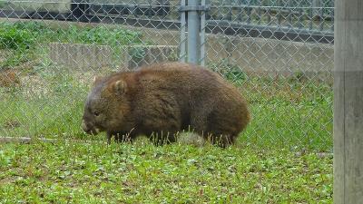 弟夫婦との旅(08)完 五月山動物園のウォンバットを見学。