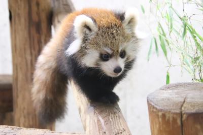 待ちに待った埼玉こども動物自然公園のレッサーパンダの赤ちゃん公開!~行楽日和の大行列にもめげず&ハロウィーンかぼちゃとワオギツネザル