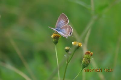 森のさんぽ道で見られた蝶(61)コセンダングサに集まる蝶その④