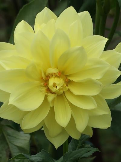 昭和記念公園-8 ダリアの庭 多種多様に咲き揃い ☆朝日てまり/彩雪/黒蝶/結納・・