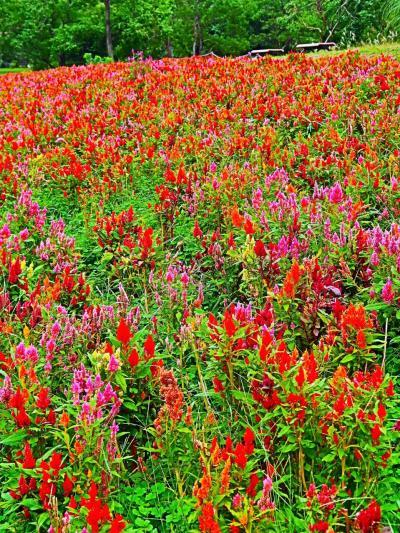 昭和記念公園-9 ケイトウ花壇 鮮やかに丘を染め ☆レイクサイドレストラン-三色丼を