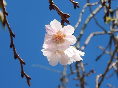 清楚に咲いていた冬桜の花