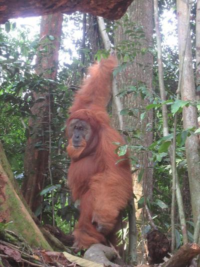 インドネシア スマトラ島 ブキッ・ラワン
