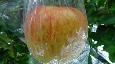 車山高原へ1泊2日のバスツアー(20) 細江のりんご狩り園でリンゴ狩りと試食 下巻。