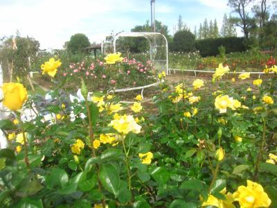 17日ぶりの雨なしDAY 用事の合間にニューシャトルに乗って伊奈町に薔薇を観に行ってきました