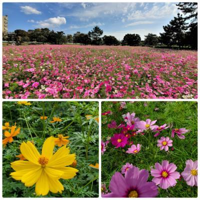 ピンクの絨毯♪武庫川「髭の渡し(ひげのわたし)」コスモス園