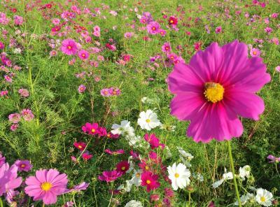 ちょこっと嵐山&亀岡コスモス園お花見散歩♪