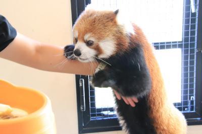 秋のアドベンチャーワールドでぴかびかな動物たちに会いたい(3)レッサーパンダ特集:麦くんフルバージョン!~后ちゃんたっぷり・シンシンくん逃す