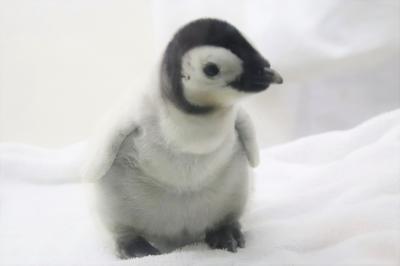 秋のアドベンチャーワールドでぴかびかな動物たちに会いたい(4)ペンギン特集:衝撃的な可愛さのエンペラーペンギンの赤ちゃん&換毛中のペンギン他