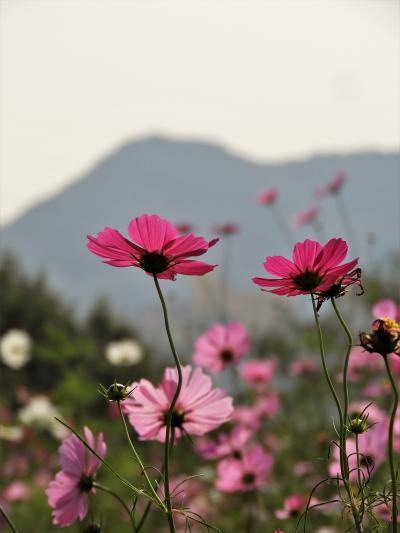 神戸総合運動公園のコスモス