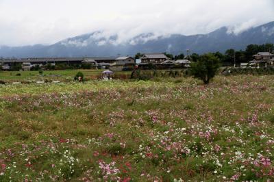 亀岡市の夢コスモス園