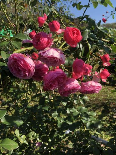 神代植物公園 秋の薔薇フェスタ&ばら園コンサート