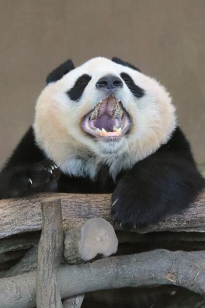 秋のアドベンチャーワールドでぴかぴかな動物たちに会いたい(5)ジャイアントパンダやコツメカワウソやその他の動物たち&初ホースパフォーマンス