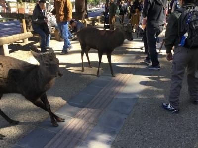 奈良国立博物館  正倉院展と奈良公園の鹿ちゃんたち