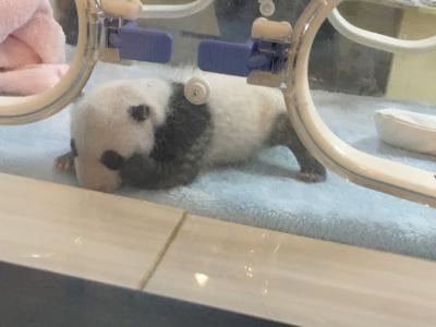 2019.11 成都② パンダって可愛いを心得てるのか