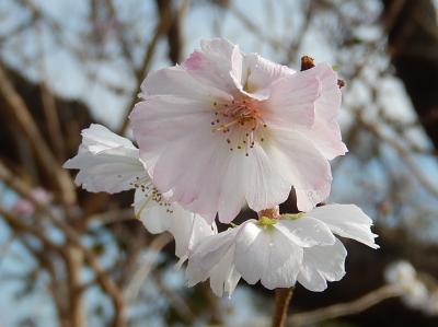 美しかった清楚な冬桜