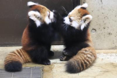 埼玉こども動物自然公園でレッサーパンダとコアラの赤ちゃんに会いたい(3)終日展示になったレッサーパンダの赤ちゃん見放題&みやびちゃんの夕食付