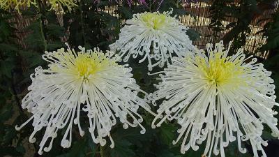 第43回 西宮市菊花展覧会 上巻。