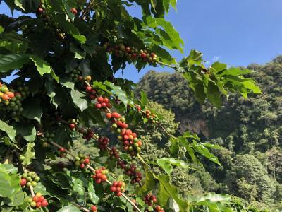 アカ族の小さな村から世界へ コーヒー農園巡り