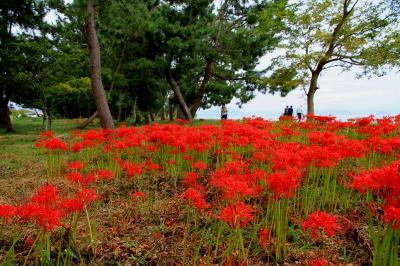 彼岸花 琵琶湖西岸の源氏浜、桂浜園地