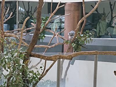 多摩動物公園でコアラを見てきました。