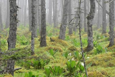 海霧で幻想的な落石岬湿原2019~サカイツツジ自生地と野生のエゾシカ~(根室)