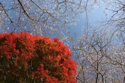 小原四季桜と紅葉のゴールデンコンビが奏でる秋の二重奏♪