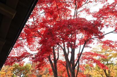 昭和記念公園の紅葉、今見頃です・・・