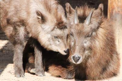 紅葉日和に当たった広島山口レッサーパンダ遠征(5)安佐動物公園:楽しみだったニホンカモシカの赤ちゃんからマルミミゾウまで見られたその他動物