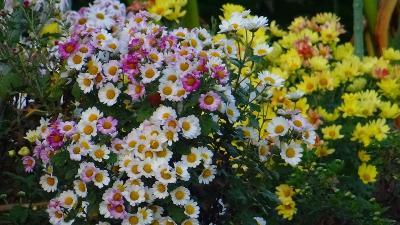 早朝散歩 鴻池第一公園へ行き、途中から菊の花を撮影しながら帰宅 下巻。