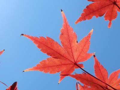 夕やけの葉っぱ、わかる深大寺、ちょっぴり高尾山