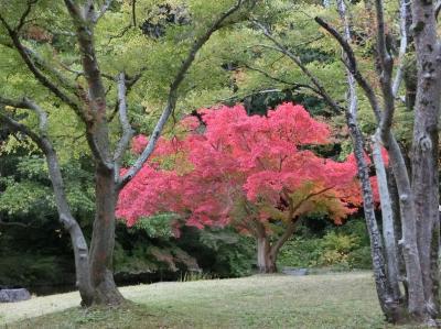「ひょうたん池のモミジ」を見たくて、晩秋の大阪万博記念公園・自然文化園を紅葉散歩。(2019)
