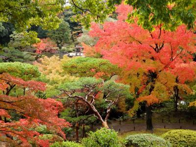 紅葉と秋バラの競演♪色づき進む 旧古河庭園