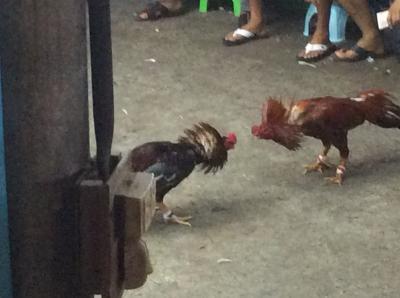 闘鶏を見に行って来た